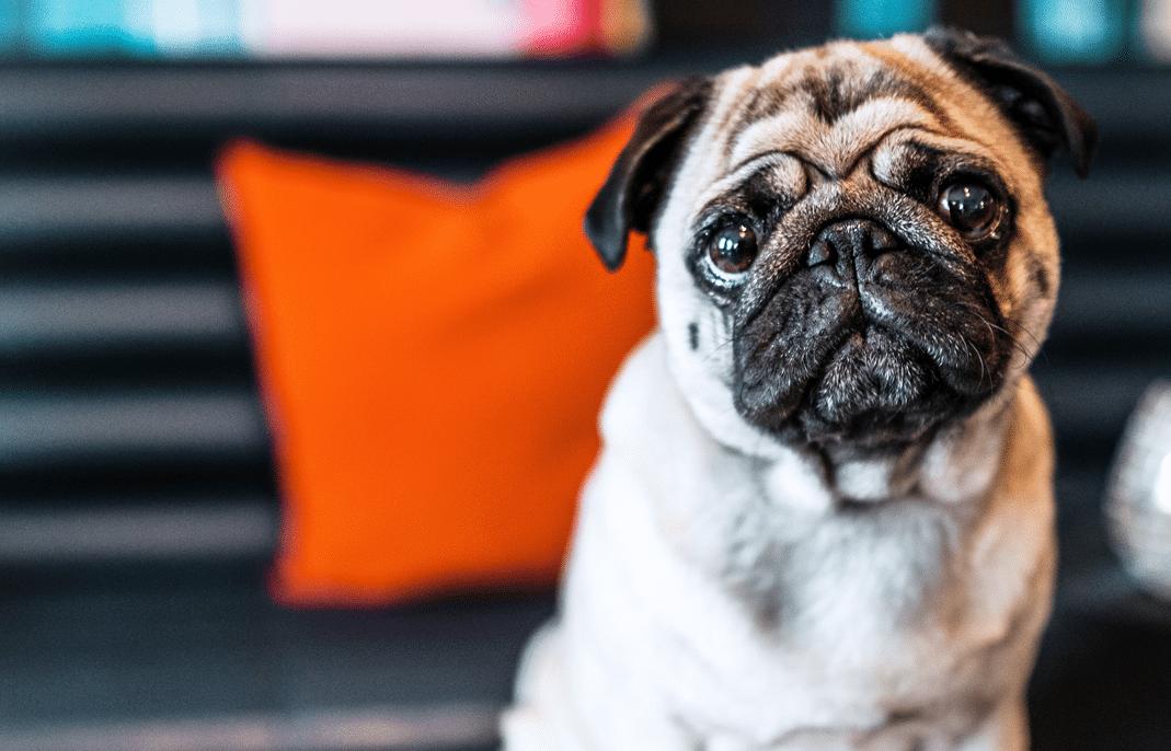 Varför har hundar dålig andedräkt?