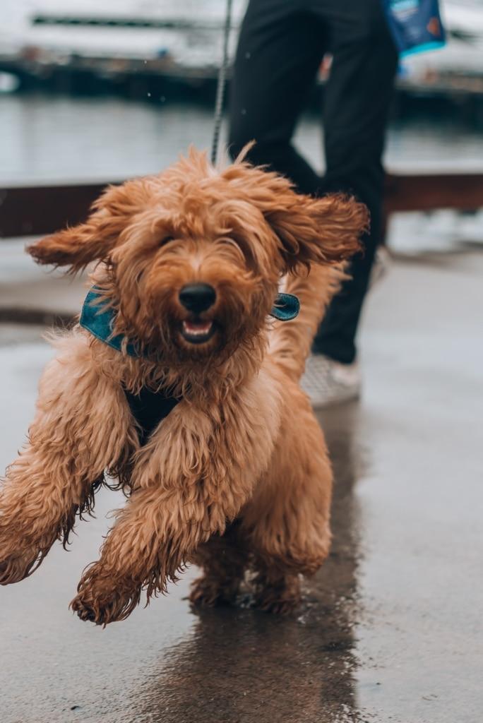 Så lär du hunden att följa med på löpturen
