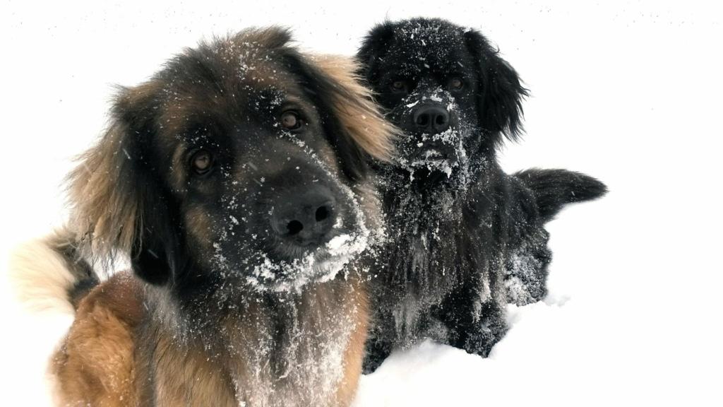 Snö & minusgrader – så tar du hand om hundens tassar